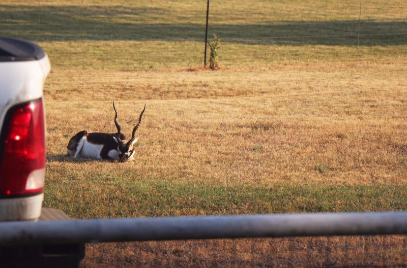 Black Buck lives at our house